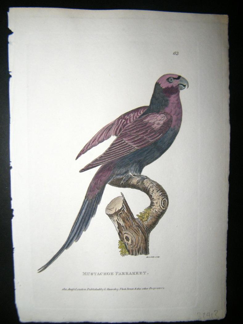 Shaw C1800's Antique Hand Col Bird Print  Mustache Parakeet